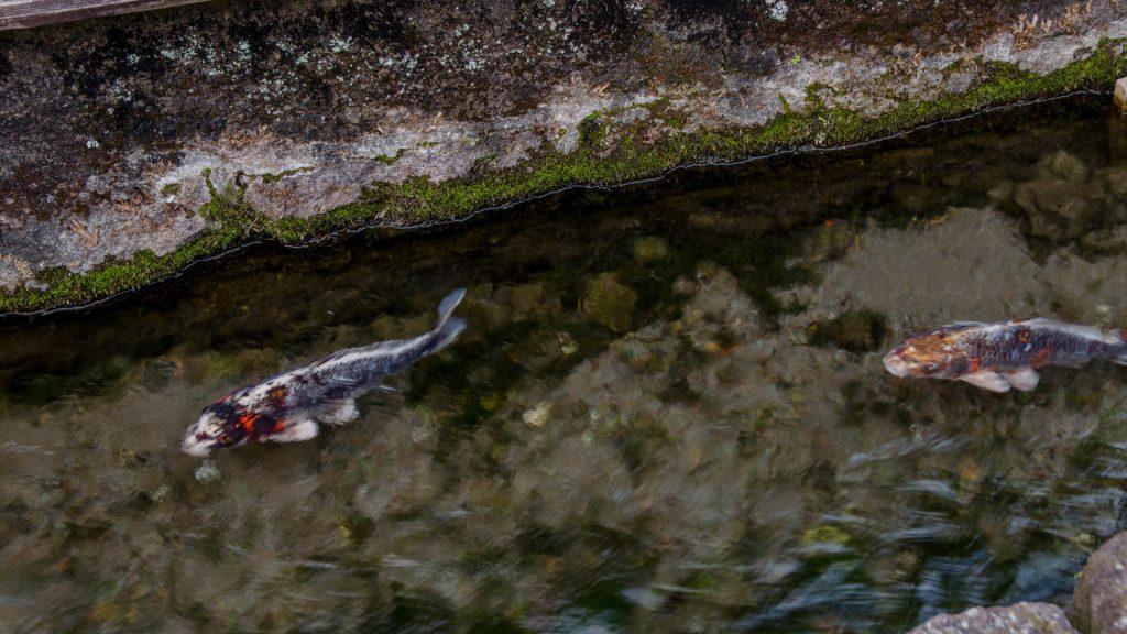 Koi-Fische ima Kanal in Shimabara Japan